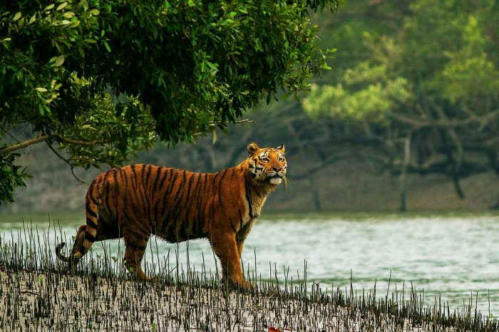 Royal Bengal Tiger Tour