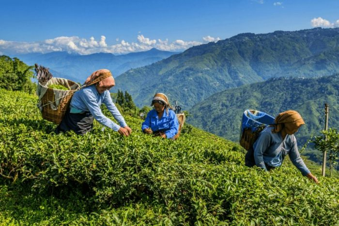 Tea Gardens of Darjeeling